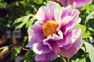 牡丹(ぼたん)の花
