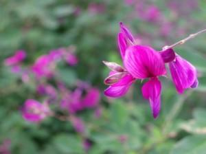 萩(はぎ)の花
